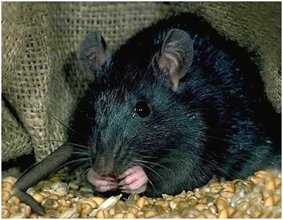 deratisation rats